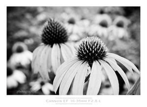 Cone Flower Bokeh