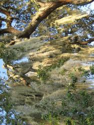 Oak tree4 by larissa-stock