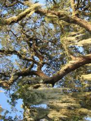 Oak tree 5 by larissa-stock