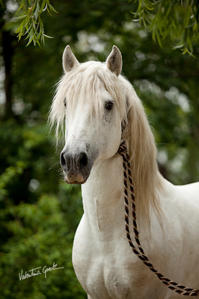 Camargue stallion by valentina-86