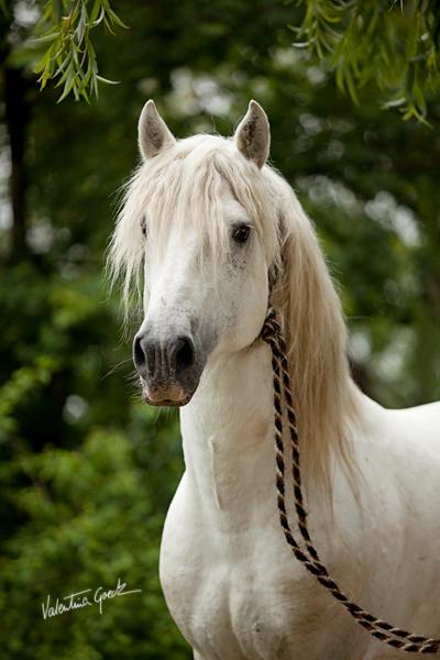 Camargue stallion by valentina-86