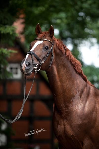 Hanoverian stallion by valentina-86