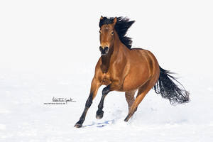 Ohlala galopping in the snow by valentina-86