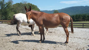 mule1