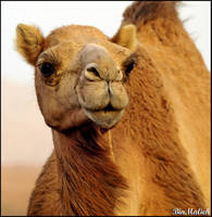 Camel Portrait by binmalieh