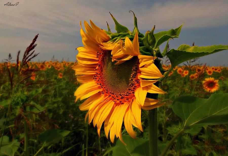 Sunflower by missfortune11