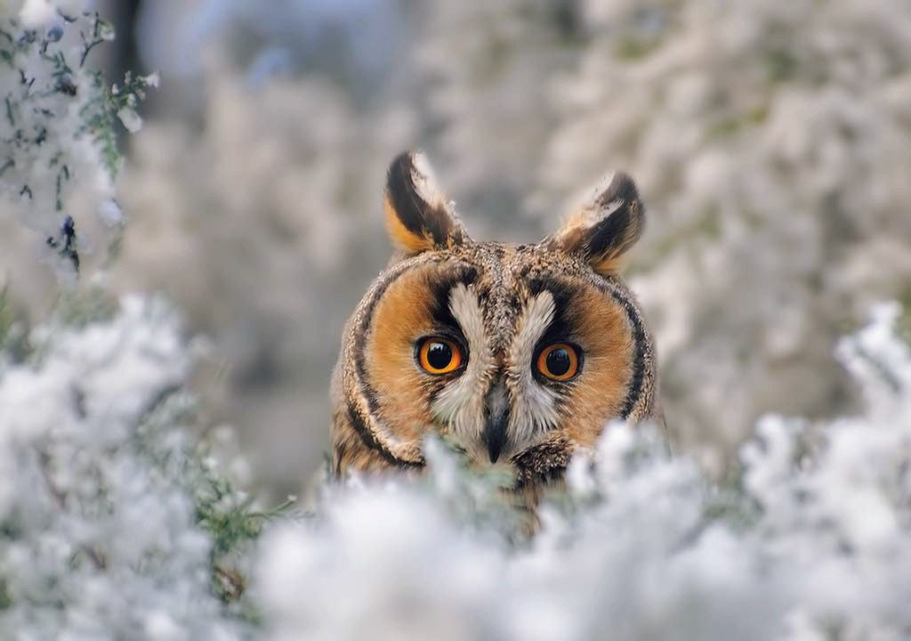 Long eared owl in a fantasy world by missfortune11