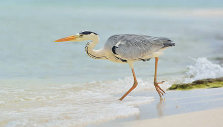 The grey heron by missfortune11