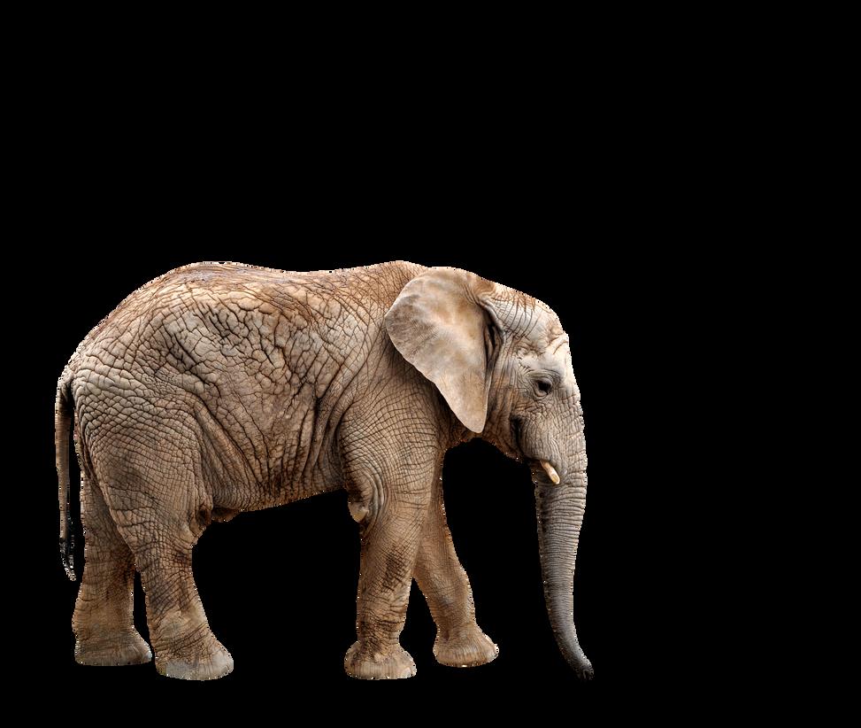 صور فيله صور فيله للتصميم صور فيله png صور فيله elephant_by_saturn0111-d6jtow8.png