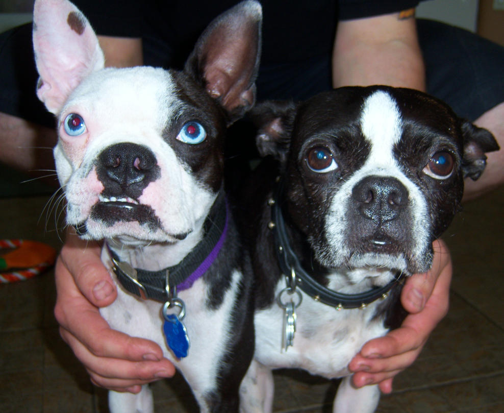 blue and brown eyed boston terriers by spookjinx on deviantart