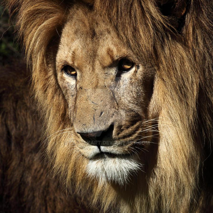 lions gaze by fayjayart on deviantart. Black Bedroom Furniture Sets. Home Design Ideas