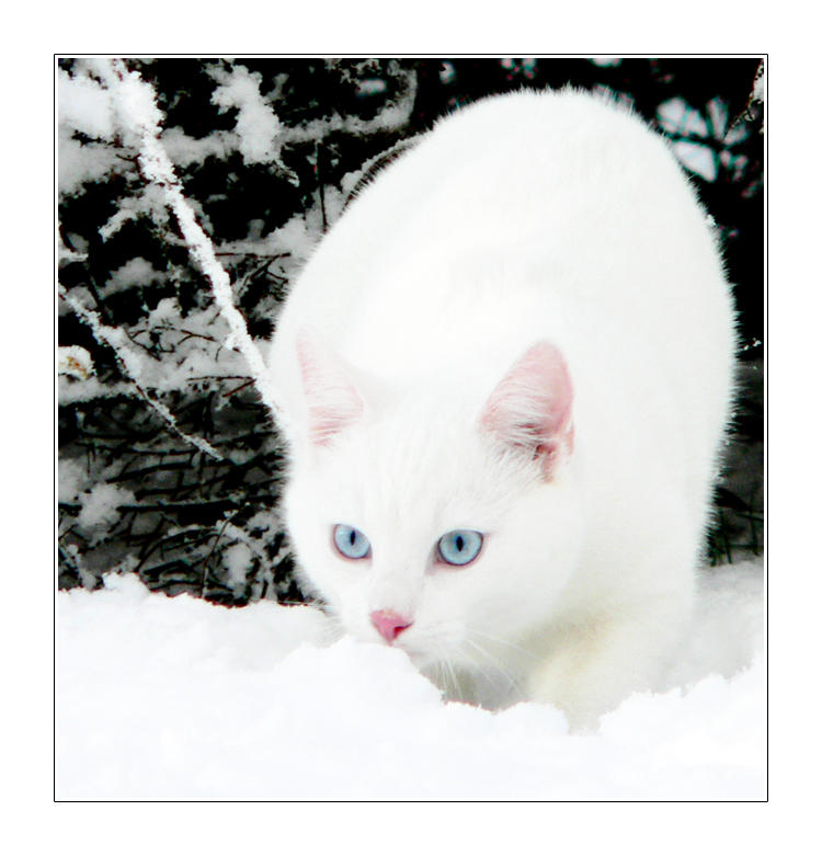 White Cats With Blue Eyes In Snow - 350.4KB