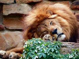 Lazy Lion by AquaSequoiaLioness