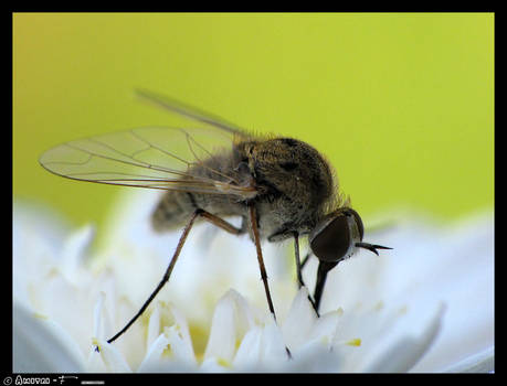 Nectar to Small-Fly