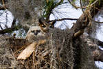 Mother and Owlet Great Horned Owl #2