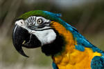 Golden Blue Macaw