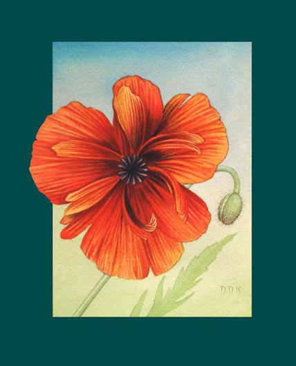 Papaveraceae by dadenko