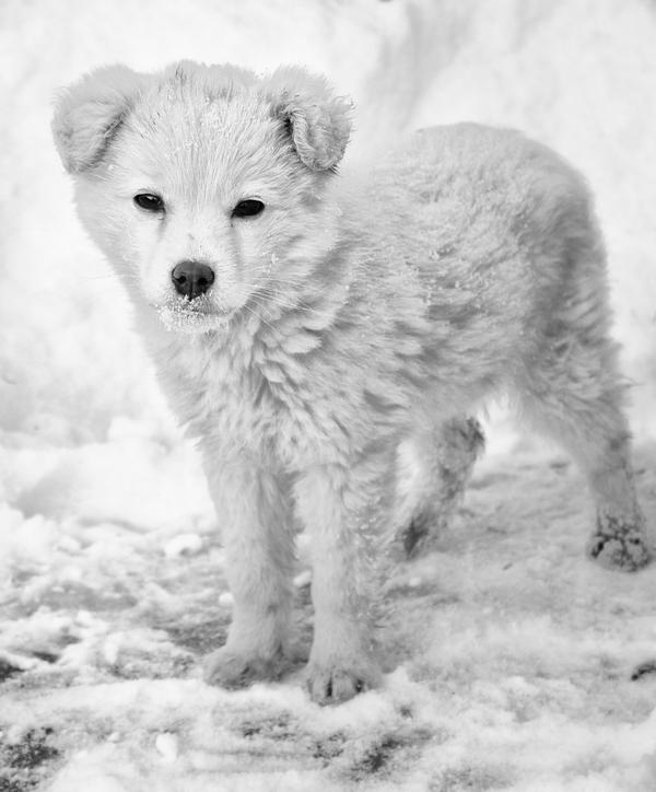 snow puppy blackandwhite by stfCristiaN