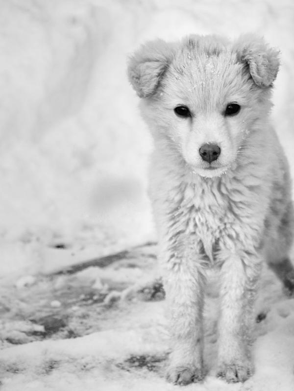snow puppy 2 by stfCristiaN