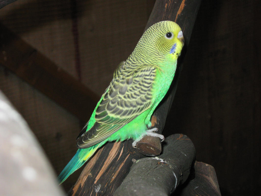 pix for gt baby blue parakeets