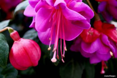 Fuchsia by CastorDesign