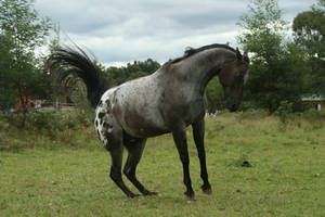 Appaloosa Rear/Buck/Leap by YumpyStock
