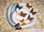 BUTTERFLY CRESCENT