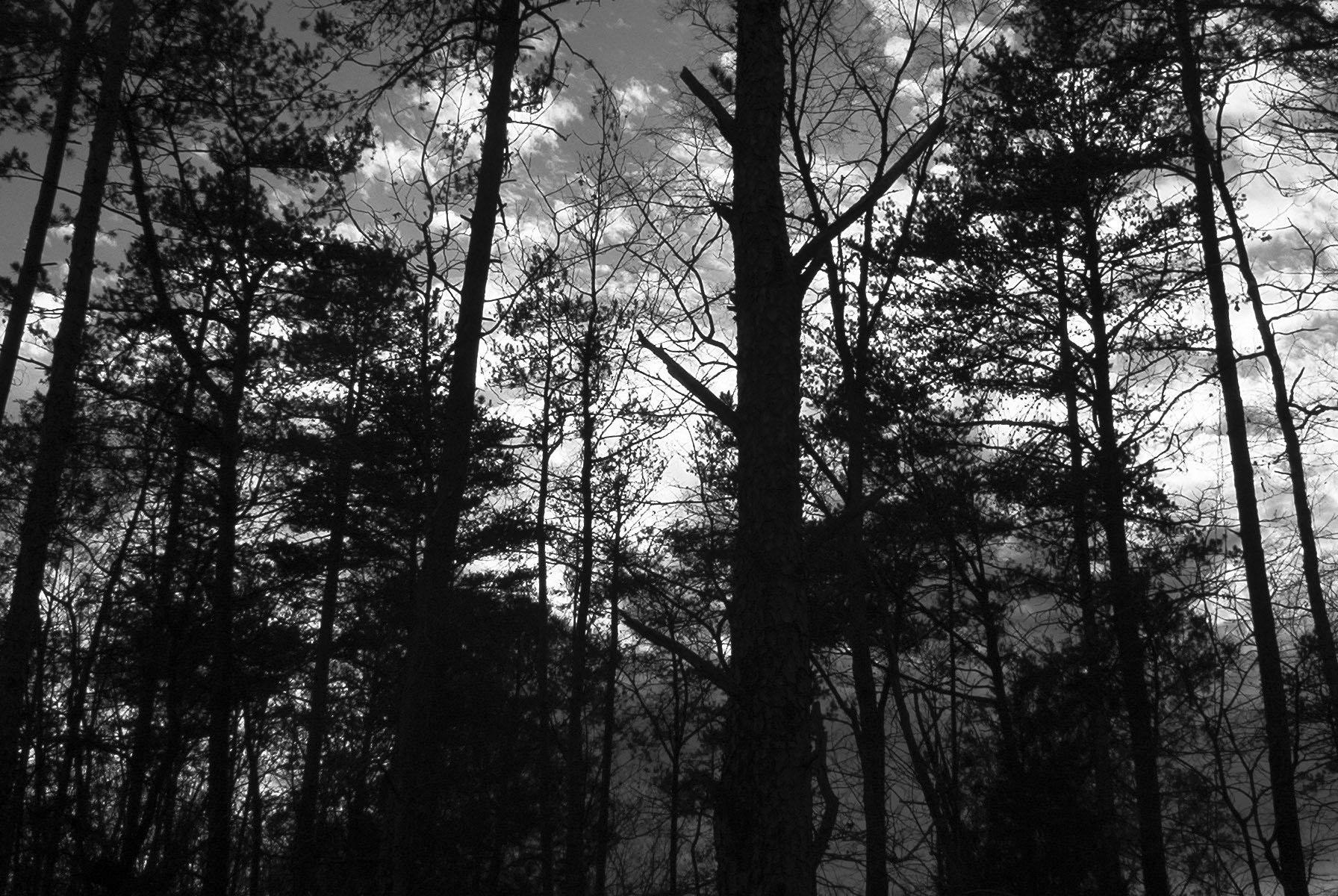 Black and White Pine Trees by rizzy on DeviantArt