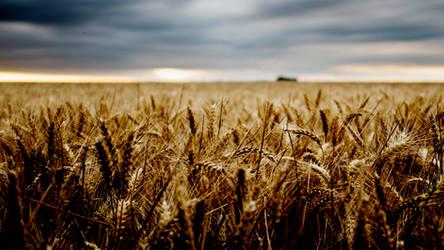 Grain field by DJMattRicks