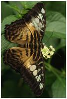 Butterfly VIII by rudeboyskunk