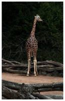 Giraffe by rudeboyskunk