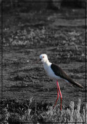 Black-winged Stilt - Black and White by BlAg001