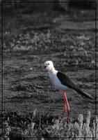 Black-winged Stilt - Black and White