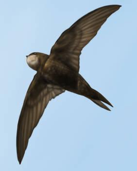 Apus Apus - The Common Swift