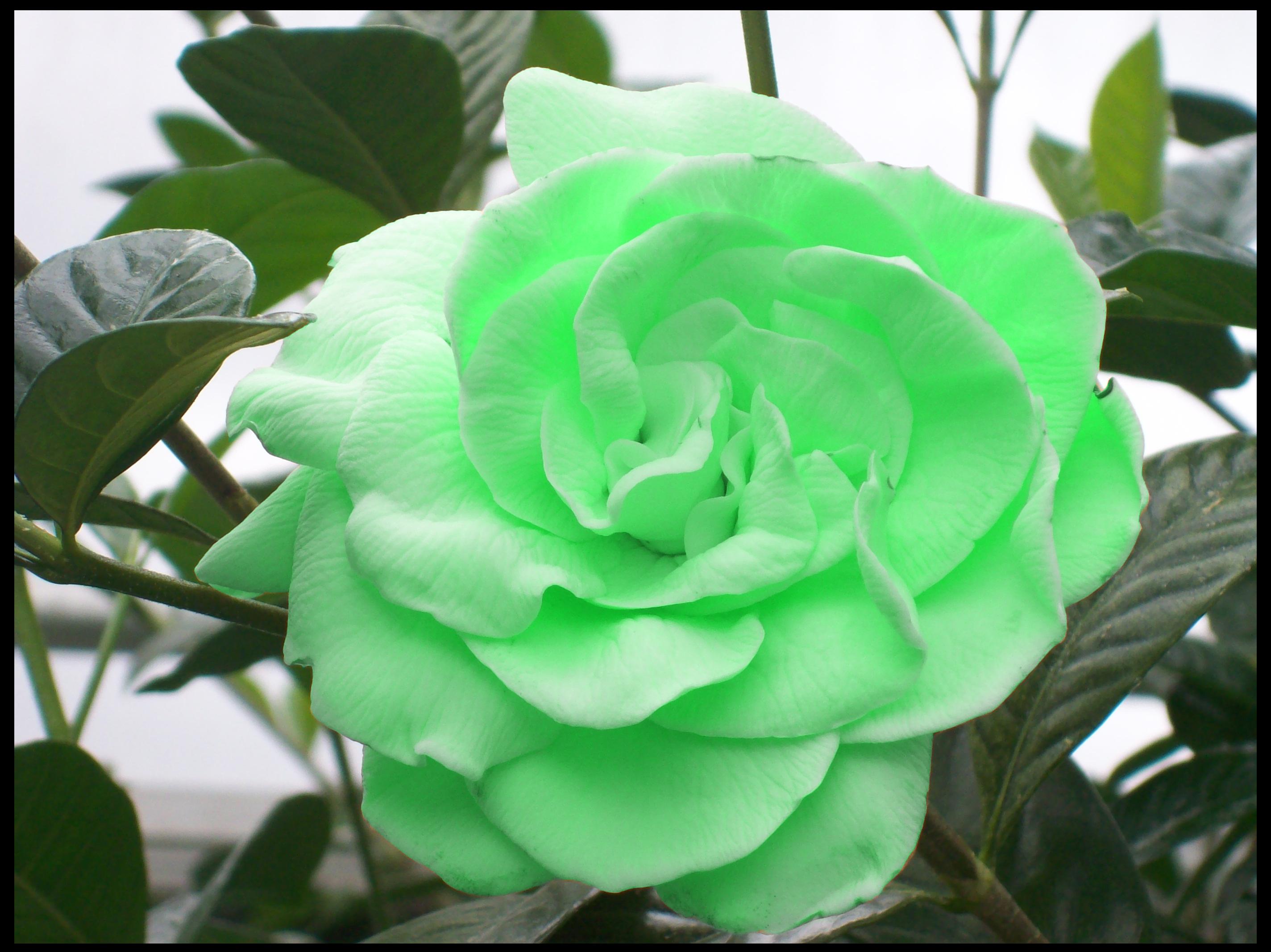 Light Green Roses Light Green Rose by Ka...