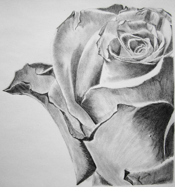 Pencil art of rose by joy cheers
