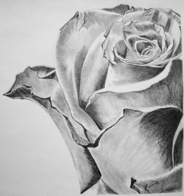 Pencil art of Rose