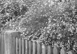 Behind the garden fence