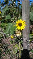 sunflower the symbol of good mood!