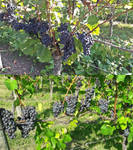 Wonderful sunny days for the grapes