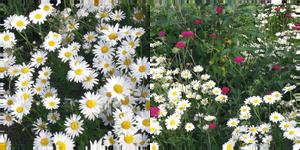sea of flower