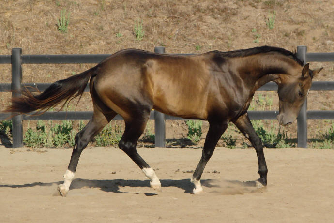 Udomi jednog od konja! - Page 8 Bay_akhal_teke_stock_by_sagittariusflame-d47apru