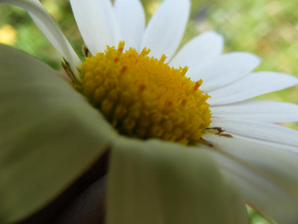 Daisy..me... by Redcorp