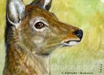 ACEO Deer