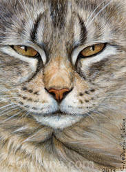 ACEO Tabby cat - Sleepy Glance