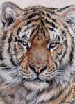 ACEO Tiger
