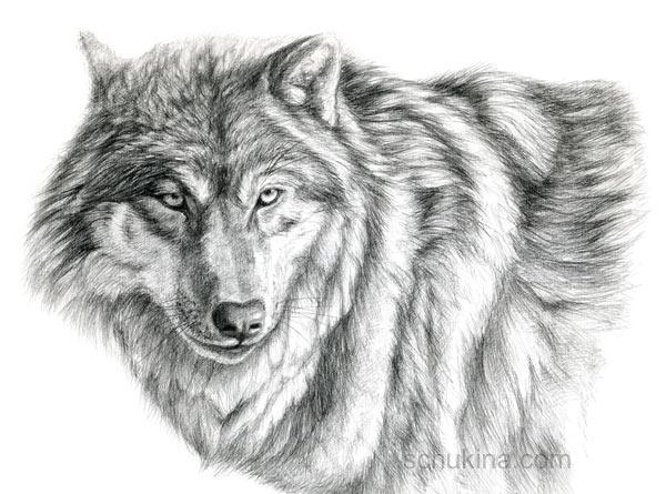 Grey Wolf - portrait by sschukina