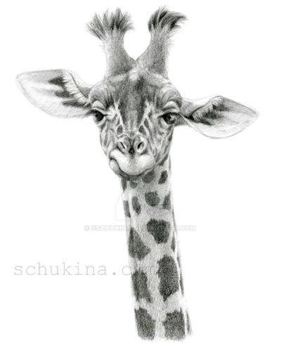 Young Giraffe by sschukina