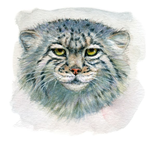 Pallas's cat 862 by schukina by sschukina
