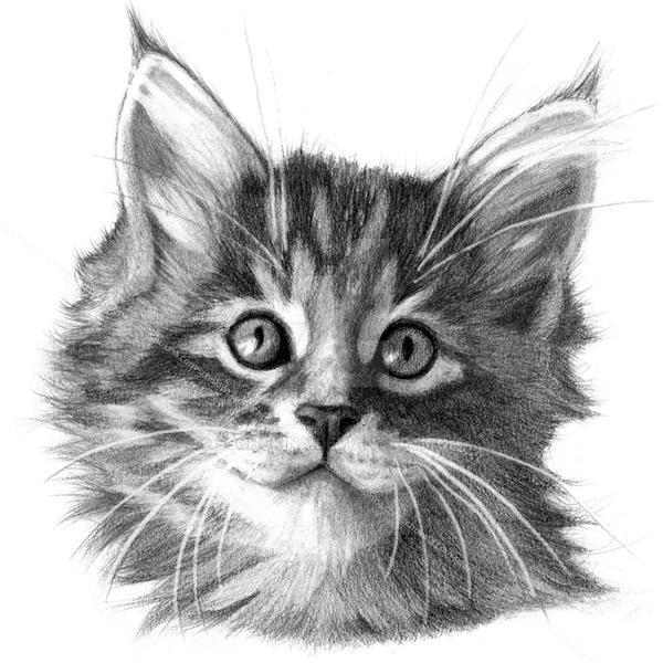 Maine Coon kitten portrait G114 by sschukina